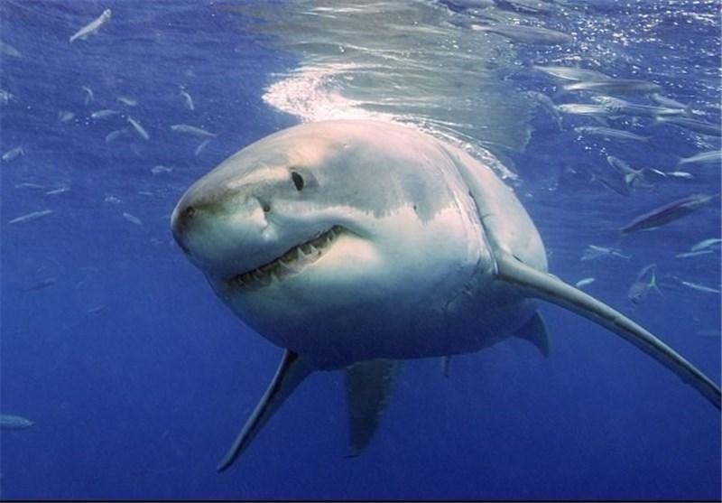 92 گونه کوسه ماهی در خلیج فارس، تنگه هرمز و بخشی از خلیج عمان شناسایی شد
