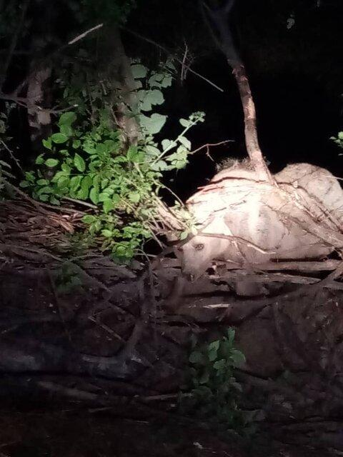 نجات شبانه یک قلاده خرس در شهرستان سراب
