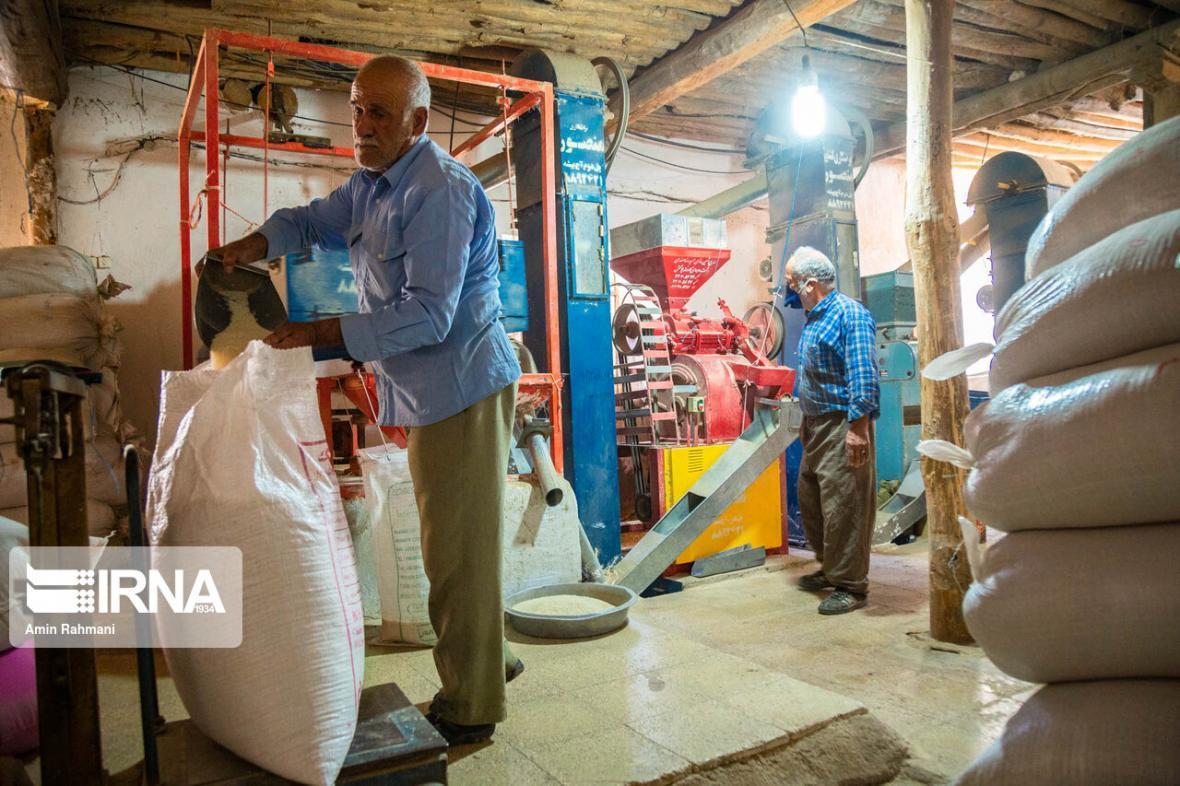 خبرنگاران محصول برنج تازه خوزستان وارد بازار شد