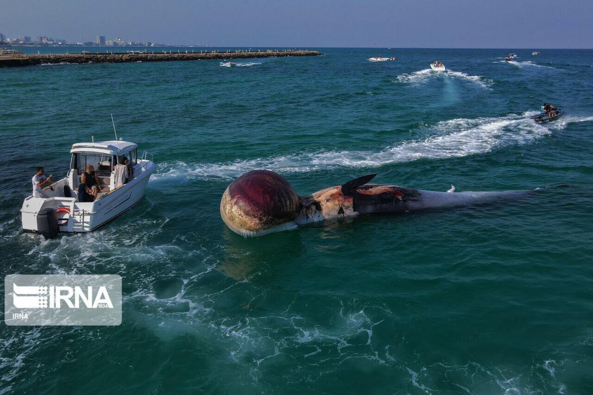 خبرنگاران تشخیص علت مرگ نهنگ&zwnjها در کوتاه مدت شدنی نیست
